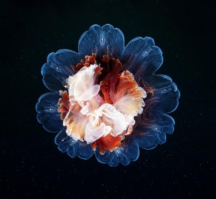 Медузы в фотографиях Александра Смирнова