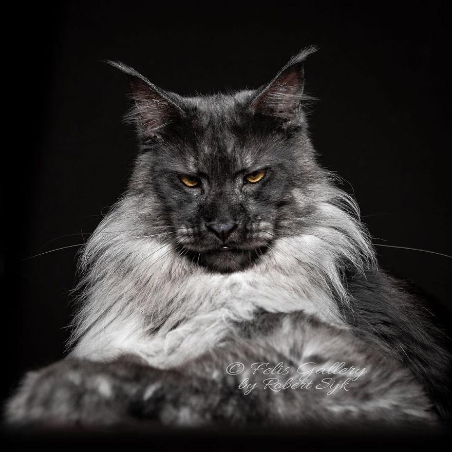 Красота мэйн-кунов в снимках Robert Sijka