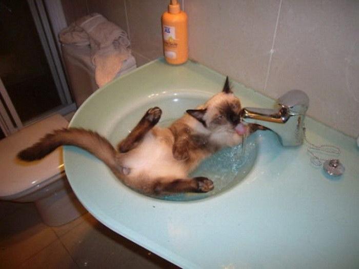 14 кошек, которые любят воду