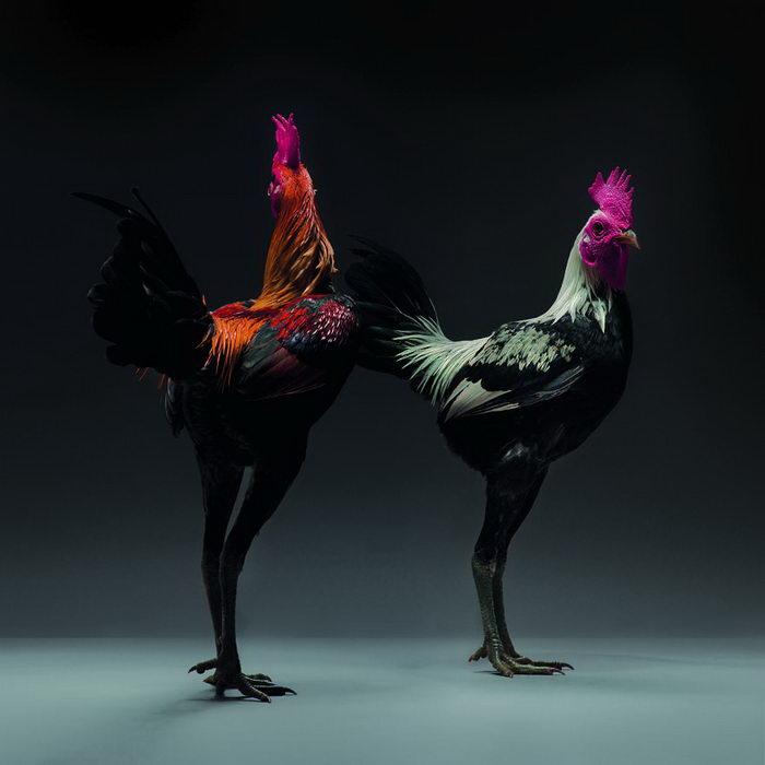 20 невероятно красивых петухов в фотографиях Moreno Monti и Matteo Tranchellini
