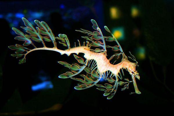 Морские коньки и морские драконы: фотографии необычных существ