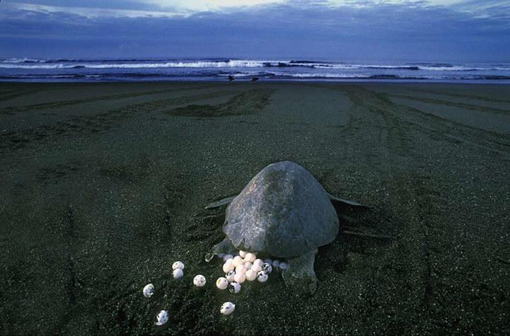 Черепашки откладывают яйца