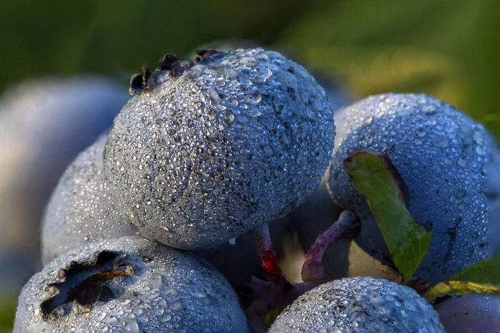 Как растет голубика: прекрасные фото прекрасного процесса