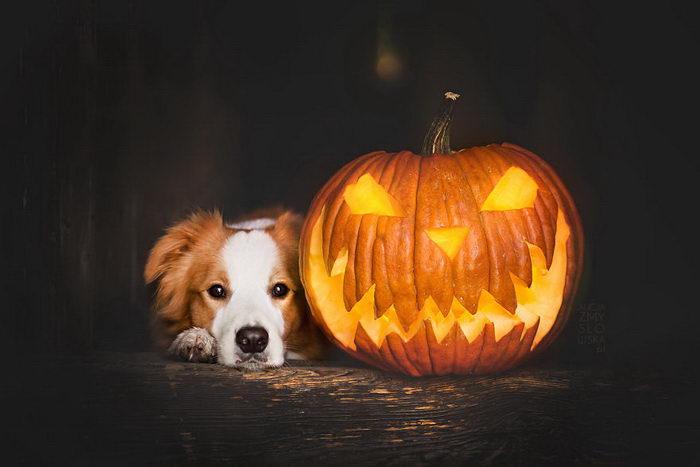 Собаки и тыквы: фотографии Alicja Zmysłowska