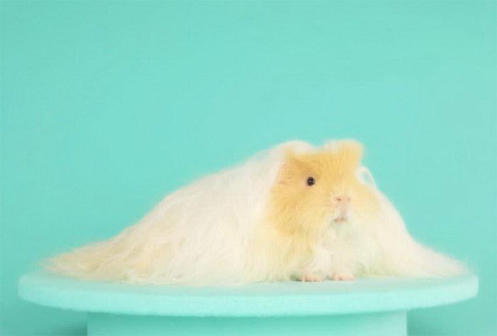 Самая волосатая морская свинка по имени Golden Boy