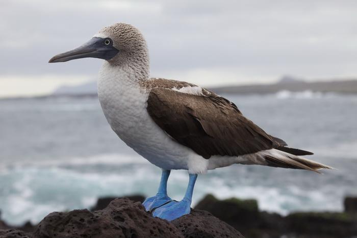 Голубоногая олуша — самая крутая птица на планете!