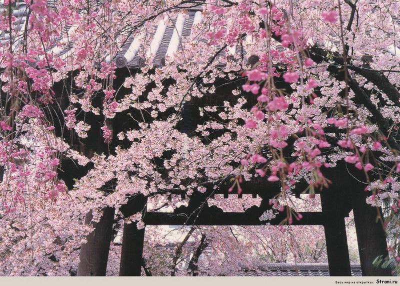 Праздник цветения сакуры