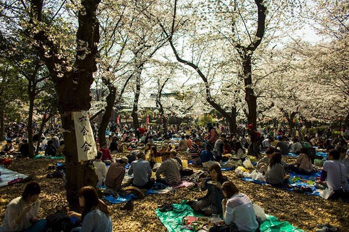 Ханами: любование цветущей сакурой в Японии