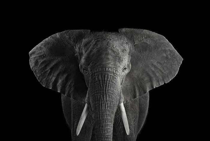 Африканские животные в портретах Brad Wilson