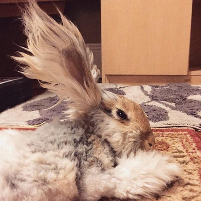 Ушастый ангорский кролик Уолли