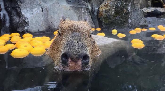 Купание капибар в горячих источниках: зоопарк Izu Shaboten в Японии