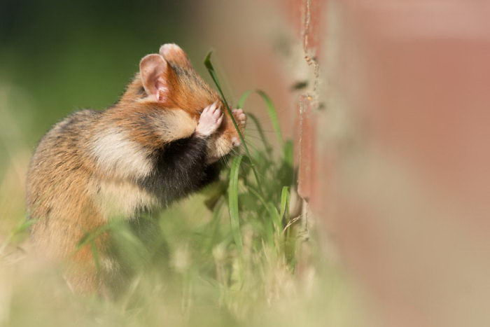 20 очаровательных фото диких хомячков