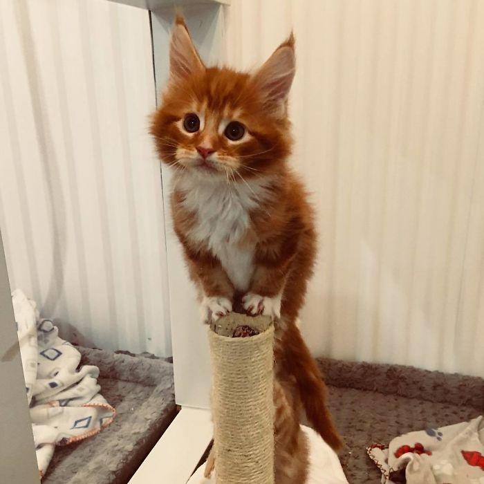 Подборка потрясающих котят мейн-кунов