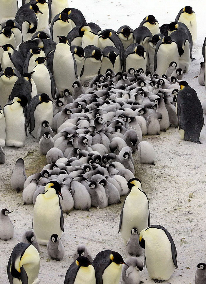 Пингвины, согревающие пингвинят
