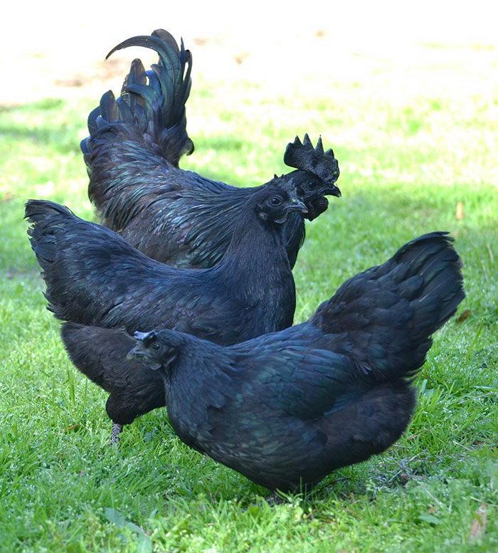 Куры Аям Чемани: абсолютно черные снаружи и внутри