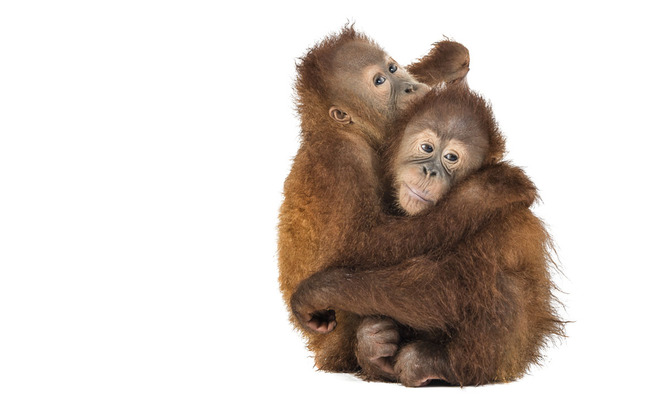 Портреты обезьянки Ernest Goh