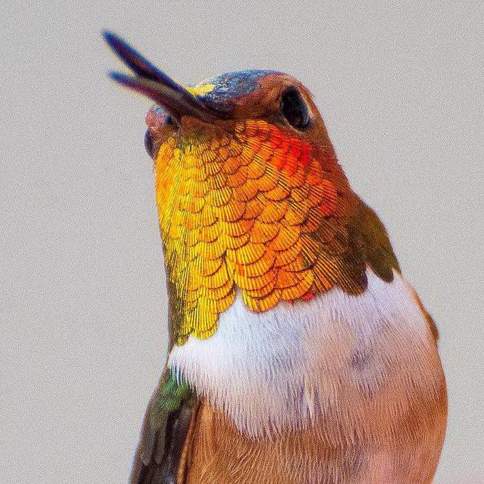 Красота миниатюрных колибри в фотографиях Tracy Johnson