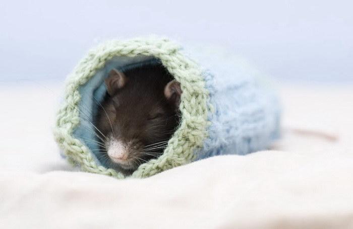 Милые крысы: подборка фотографий очаровательных грызунов