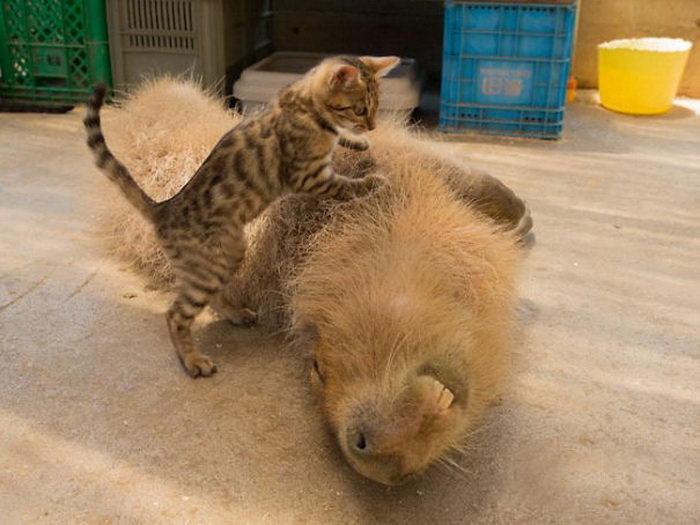 Капибары — любимицы всех животных планеты