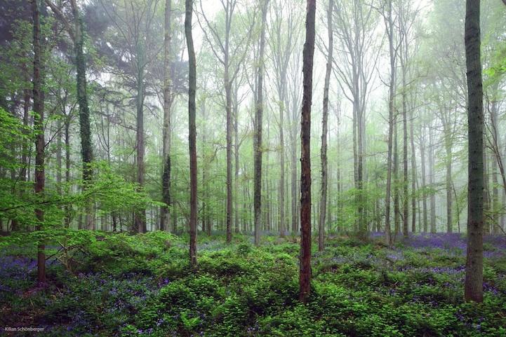 Бельгийский голубой лес