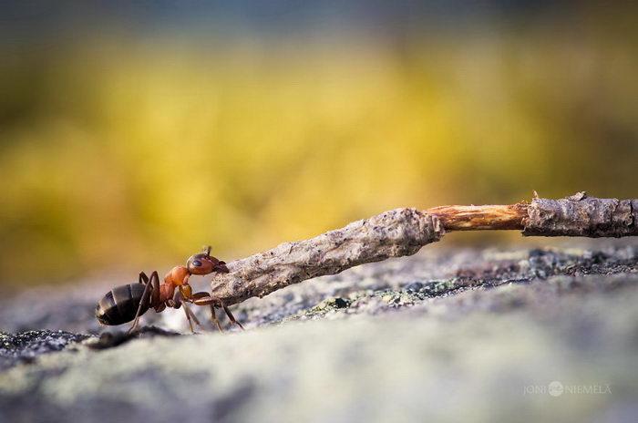 Жизнь муравьев в фотографиях Joni Niemela