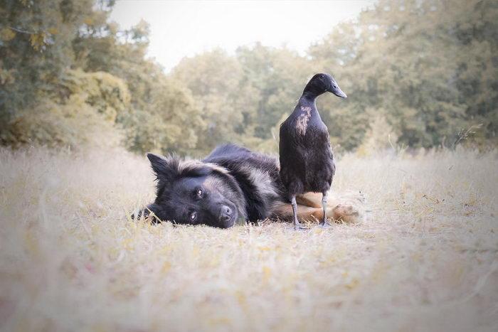 Невероятная дружба утки и овчарки