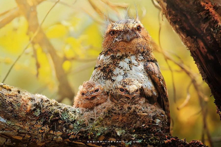 Красивые совы в фотографиях Sasi