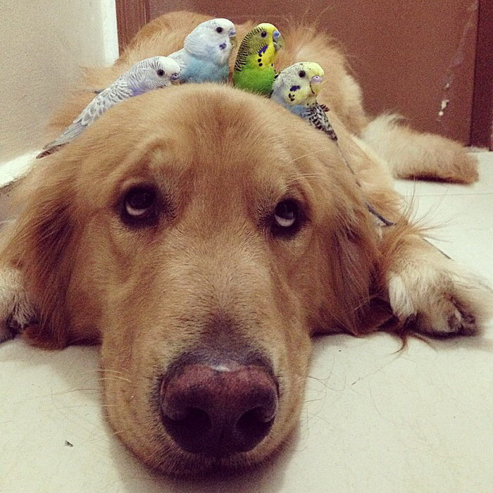 Необычная дружба собаки, хомяка и 8 попугаев