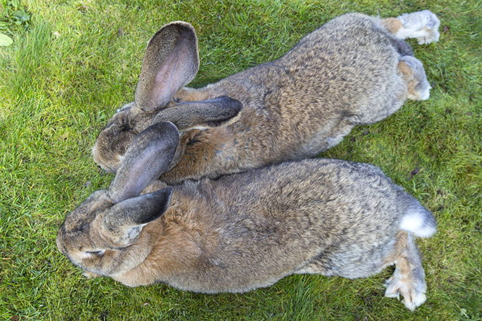 Дариус — самый большой кролик на Земле