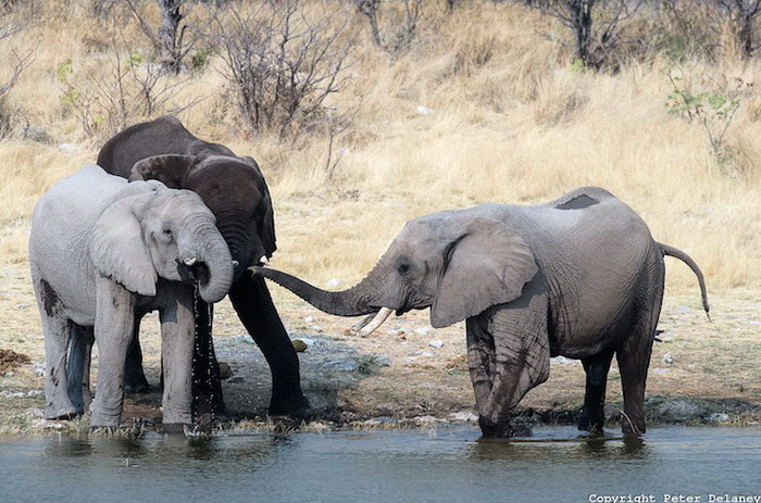 Африканские слоны в фотографиях Peter Delaney