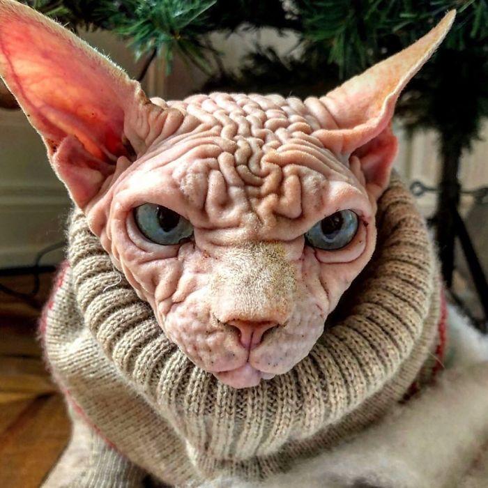 Шарпей из мира кошек: Xherdan и ее фотографии