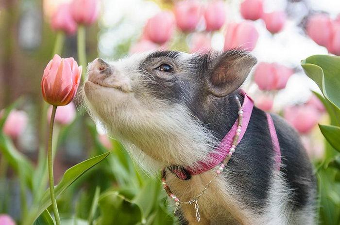 Свинка в тюльпанах: милые снимки Chantal Levesque