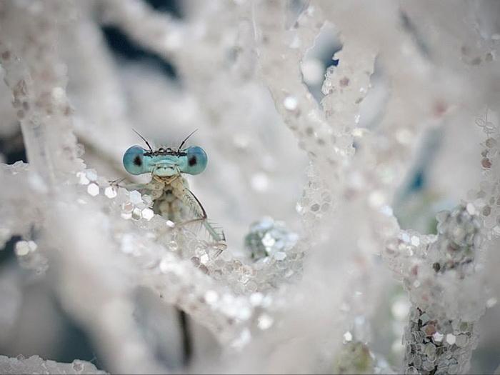 Стрекозы в фотографиях Tiplea Remus