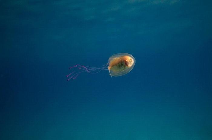 Рыба заплыла в медузу: уникальный кадр Tim Samuel