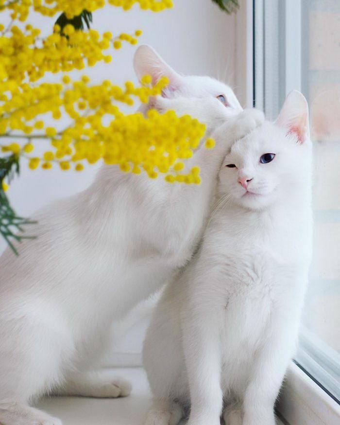 Кошки близняшки Айрис и Эбис