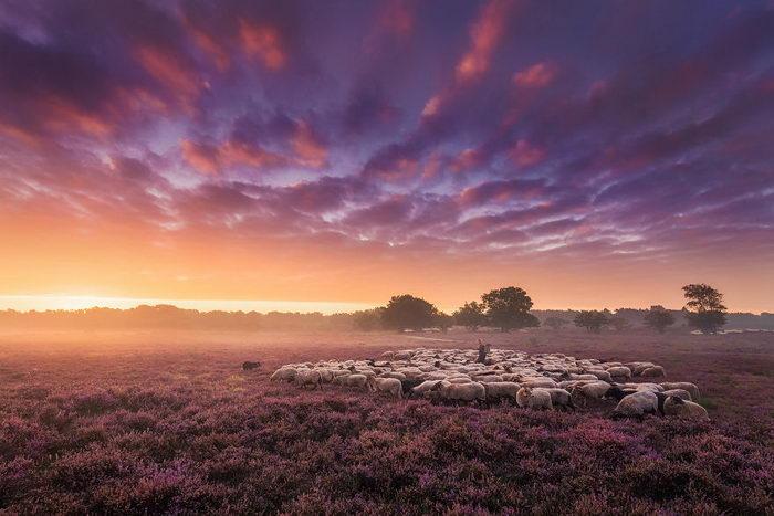 Вересковые поля Нидерландов Albert Dros
