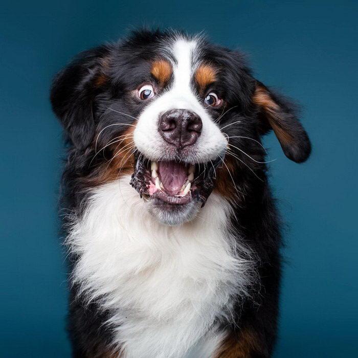 Собачьи эмоции в фотографиях Kevin Sarasom