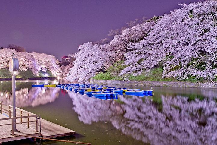 Фото цветения сакуры в Японии