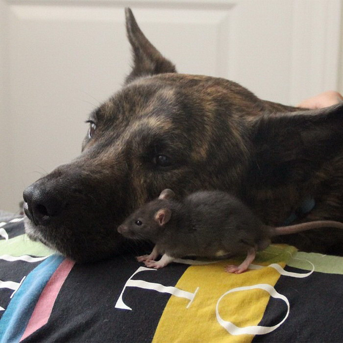 Невероятная дружба собачки и крысы
