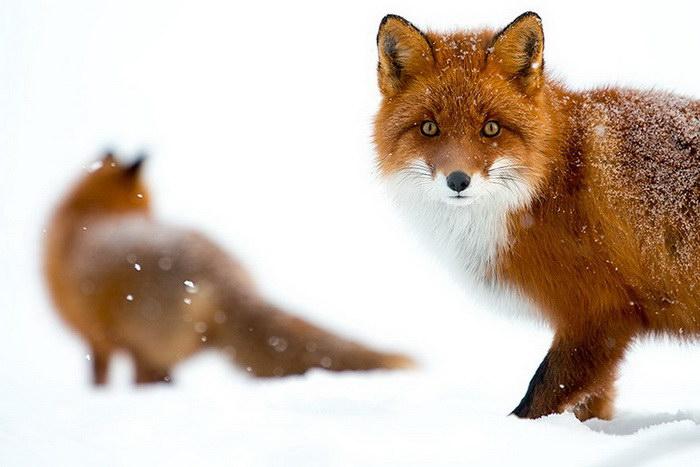 Очарование лисиц в фотографиях Ивана Кислова