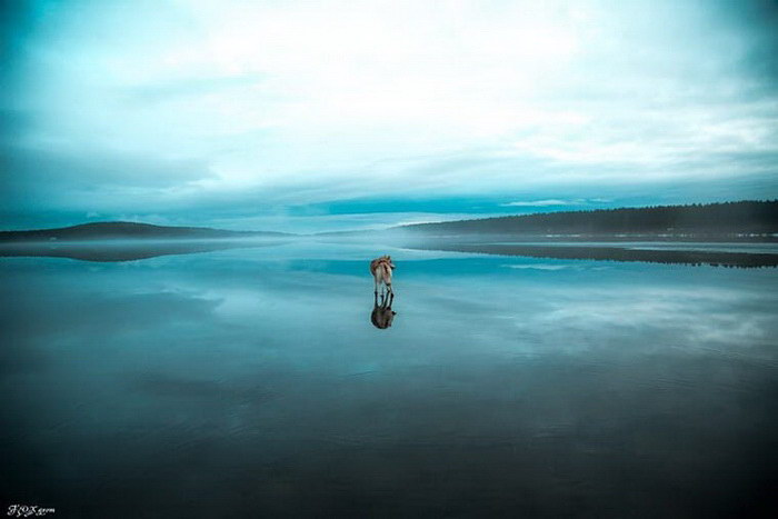 Хаски, гуляющие по замерзшему пруду