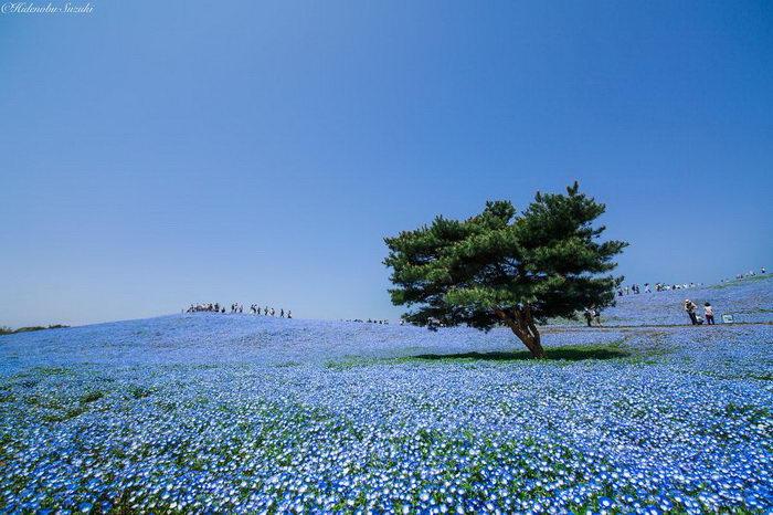 Floración campos en Japón: foto Hidenobu Suzuki