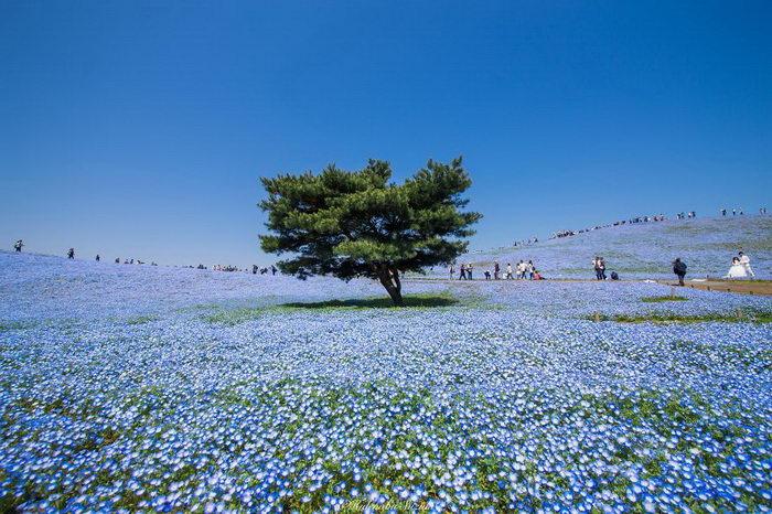 Цветущие поля в Японии: фото Hidenobu Suzuki