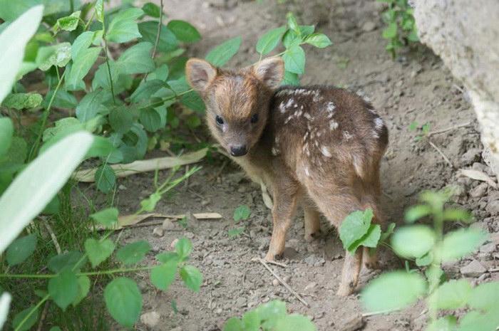 В зоопарке Нью-Йорка родился самый маленький олень пуду