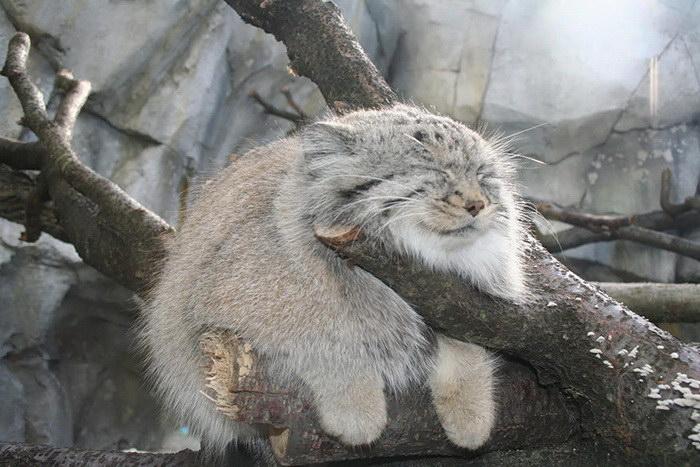 Манулы - самые эмоциональные животные на Земле