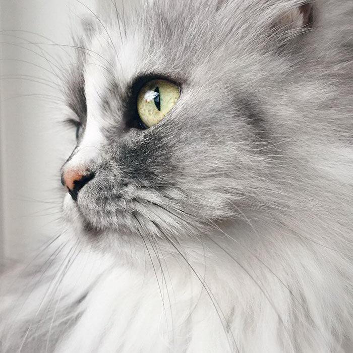 Невероятная кошка Алиса с шерсткой цвета мрамора