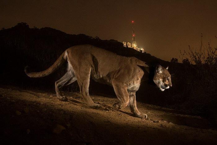 Большие кошки в фотографиях Steve Winter