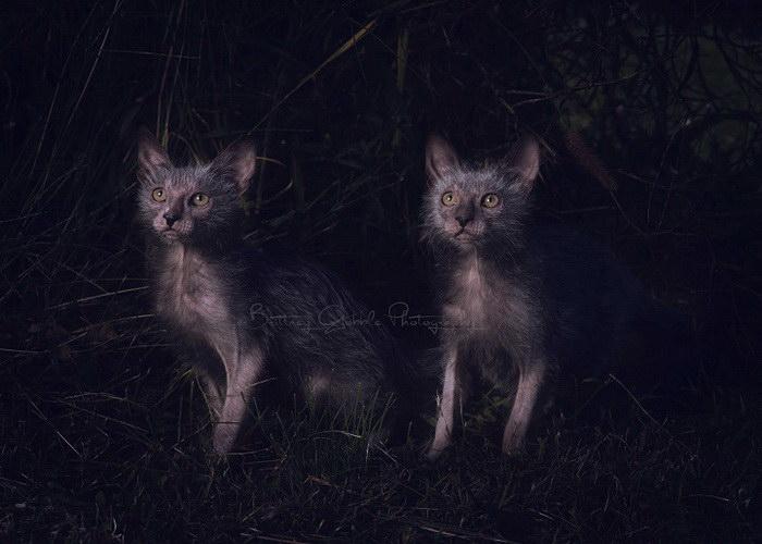 Новая порода кошек Lykoi: очаровательные кошки-оборотни