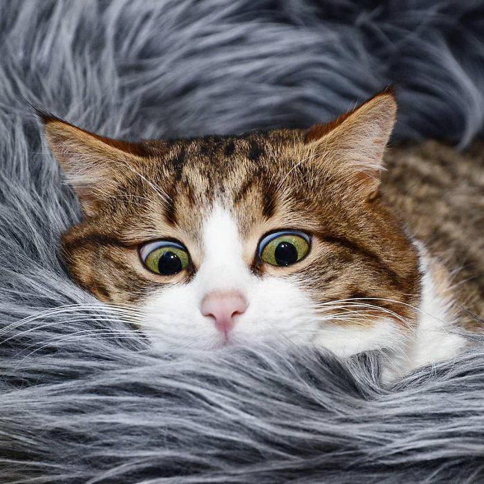 Кот Рекси с самой живой мимикой на свете