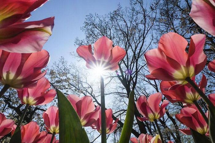 Цветение тюльпанов в Нидерландах